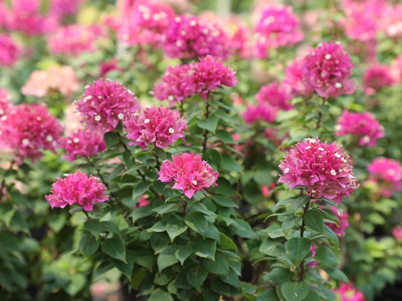 best-shrubs-supplier-in-dubai