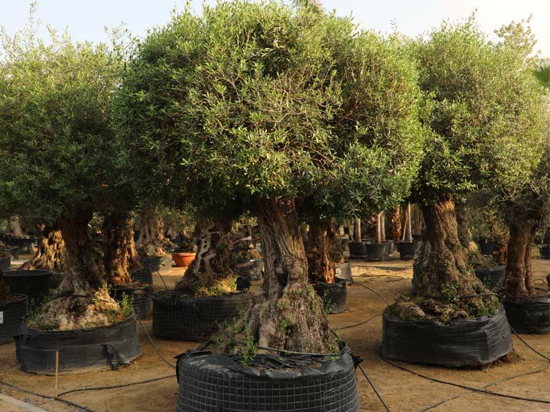 best-tree-supplier-in-dubai