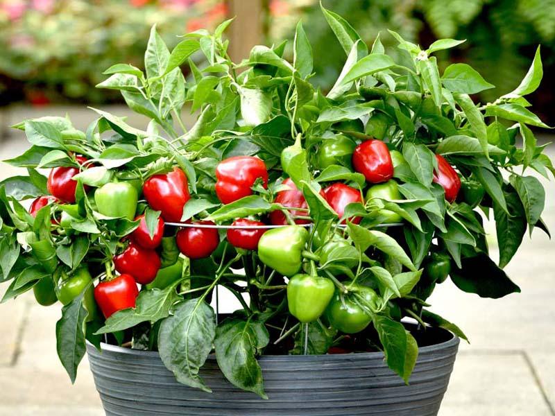 best-vegetable-plant-supplier-in-dubai