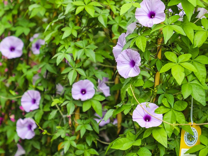 best-vines-and-climbers-supplier-in-dubai