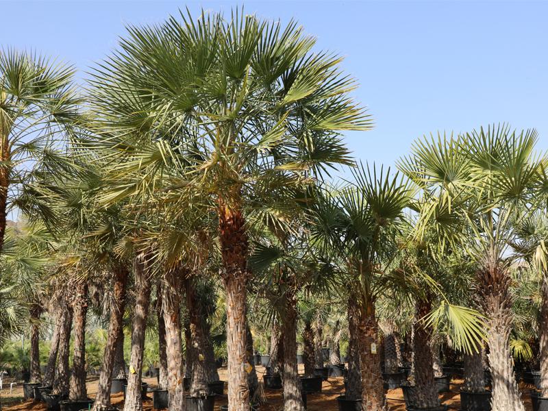 best-palms-supplier-in-nothern-emirates
