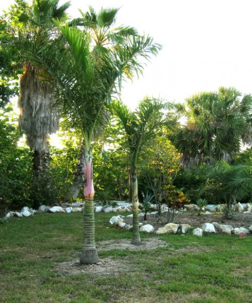Chrysalidocarpus lucubensis