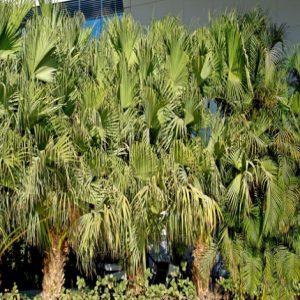 Mountain thatch palm