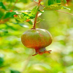 Pomegranate,Rumman