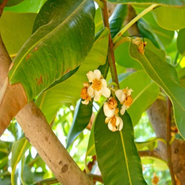 Ball nut tree