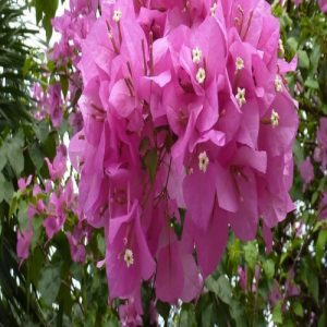 Bougainvillea Singapore pink