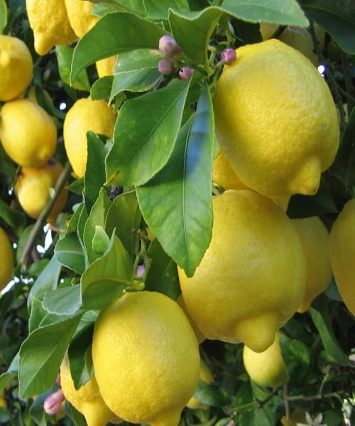 Citrus hamidh eureka
