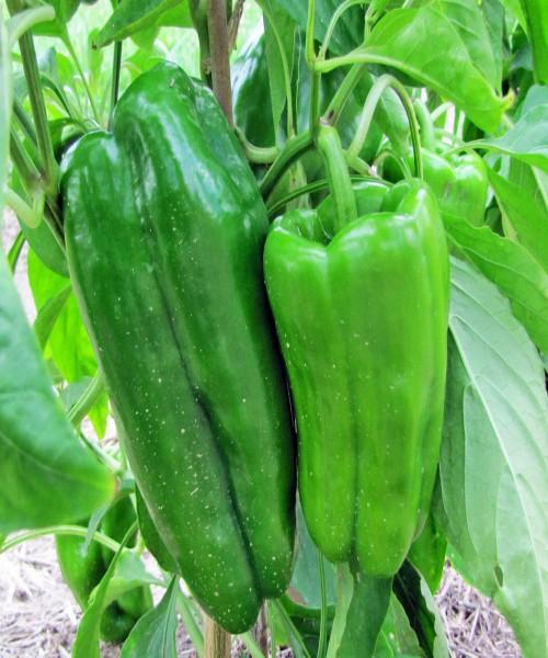 Capsicum annuum ( Sweet pepper )