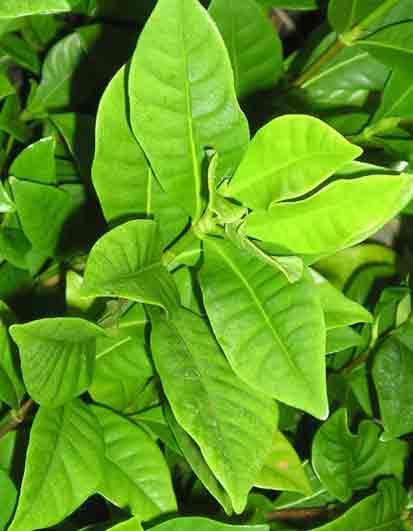 Gardenia JasminoidesFirst Love