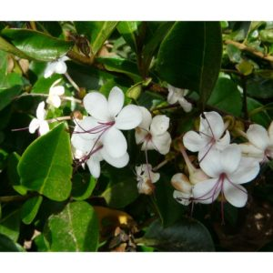 Clerodendran inurme