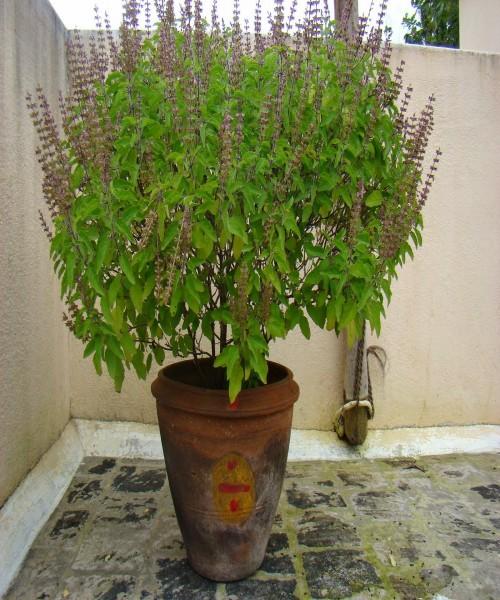 Ocimum sanctum ( Tulsi basil )