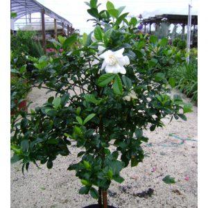 Gardenia grafted