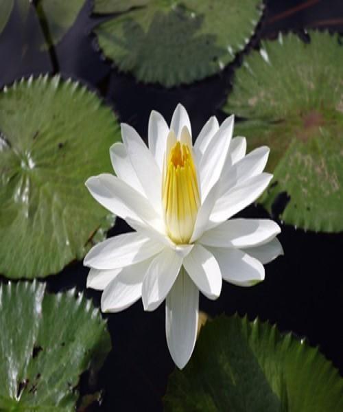 Nymphaea Trudy Slocum