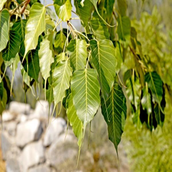 Bo-tree,Fikas lissan al asfour