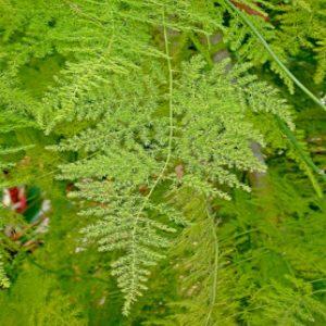 Asparagus fern