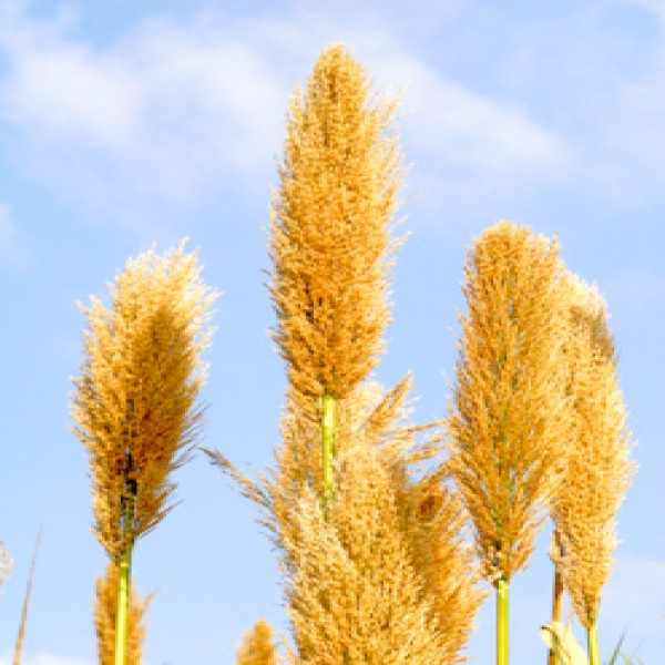 Giant reed,Ghab