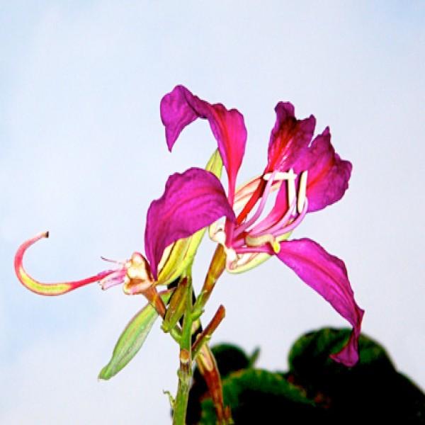 Purple orchid tree,Khof al gamal