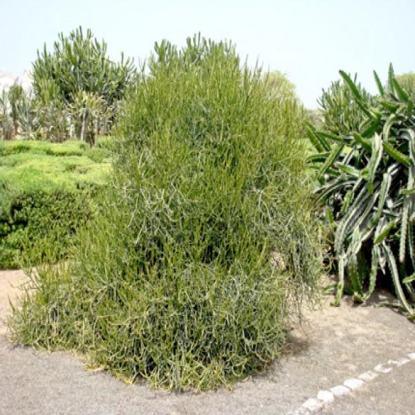 Pencil plant