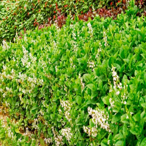 Purple false Eranthemum