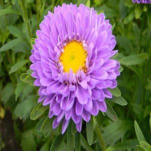 Symphyotrichum cordifolium ( Aster Mix )