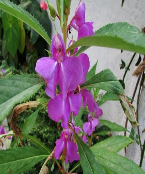Balsamina hortensis
