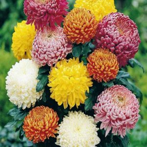 Chrysanthemum Mix