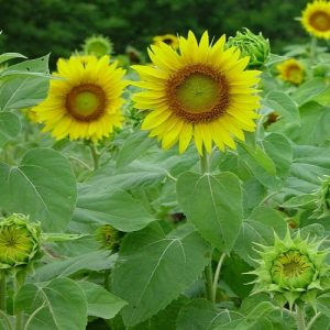Helianthus annuus ( Sunflower )