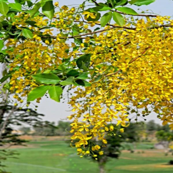 Golden shower tree,Khiyar shambar