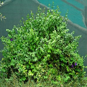 Bush clockvine