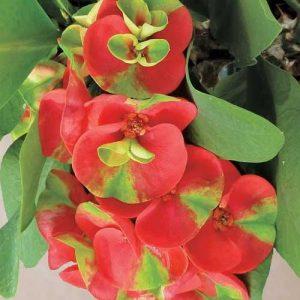 "Euphorbia mix ""Holland"""
