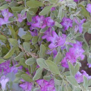 """Leucophyllum """"Green Cloud"""""""