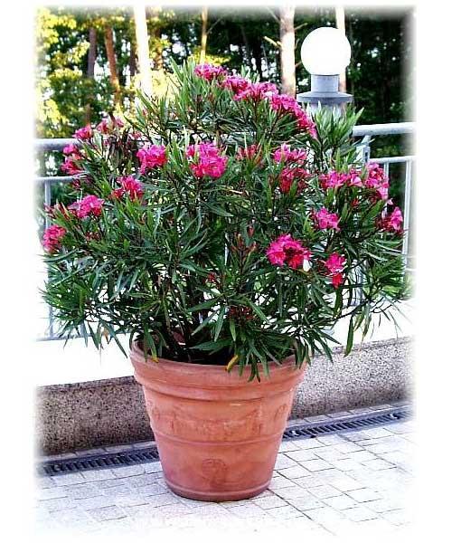 """Nerium oleander """"Red"""""""
