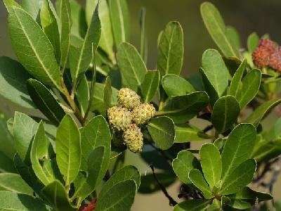 Conocarpus saudi