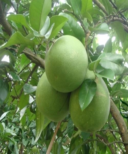 Citrus pomelo