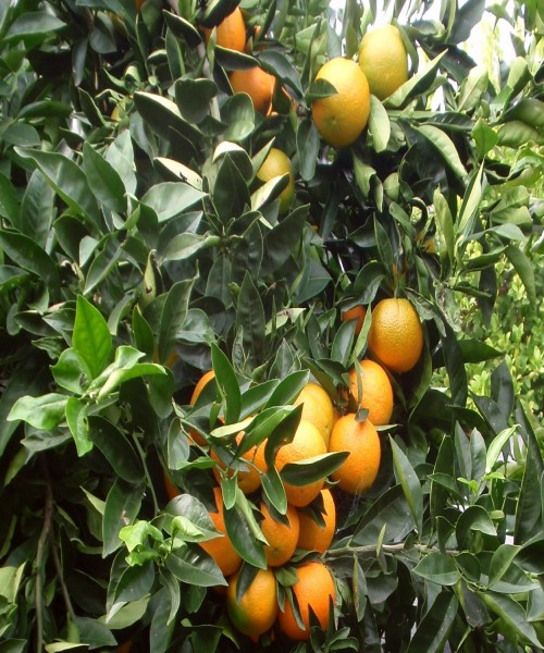 Citrus valencia