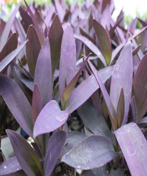 Tradescantia pallida ( Setcreasea purpurea )