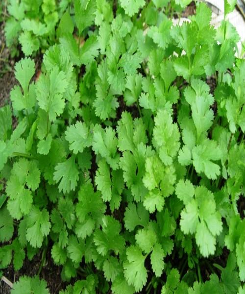 Coriandrum sativum ( Coriander )