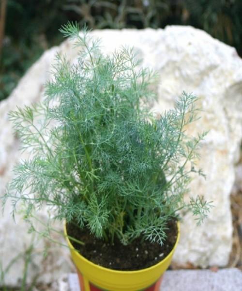 Anethum graveolens ( Dill )