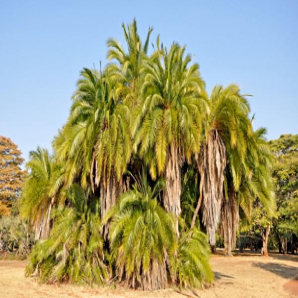 Senegal data palm