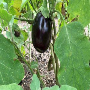 Solanum melongena ( Egg plant )