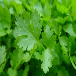 Petroselinum crispum ( Parsley cilantro )