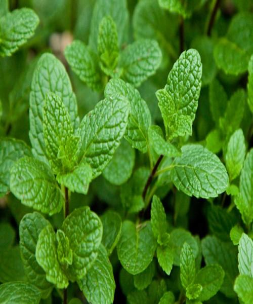 Mentha spicata ( Pepper Mint )