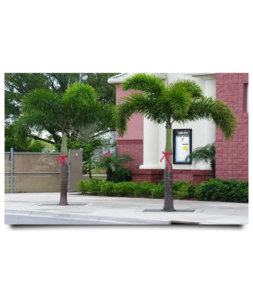 Foxtail palm
