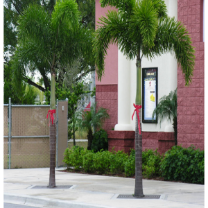 Wodyetia bifurcata ( Foxtail Palm )