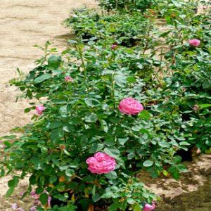 Sultani rose