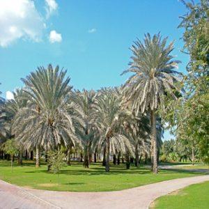 Date palm,Nakhil