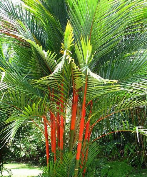 Cyrtostachys renda ( Lipstick palm )