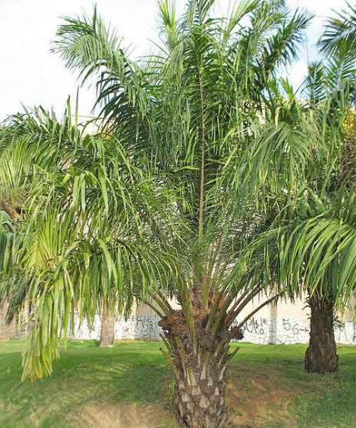 Elaeis guineensis ( Oil Palm )