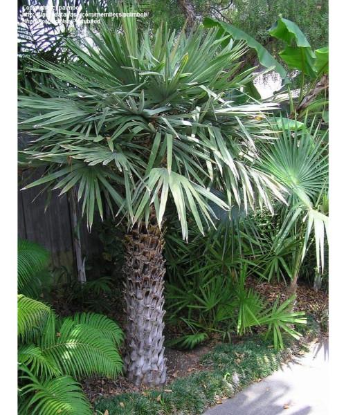 Copernicia alba (Wax Palm)