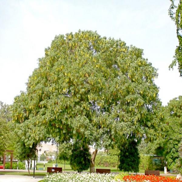 Frywood,Labakh